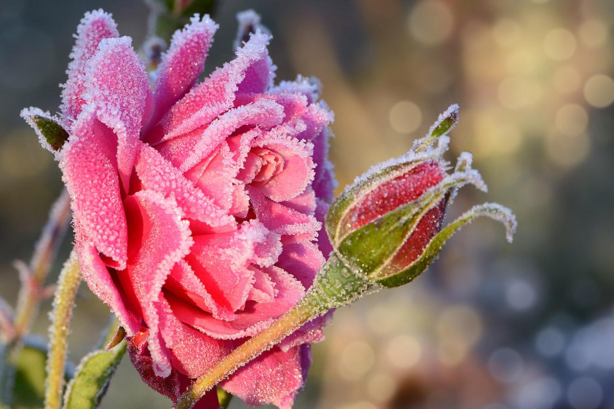 Eisheiligen-2020-Nachtfrost-Rose-Raintime-Bewaesserungstechnik