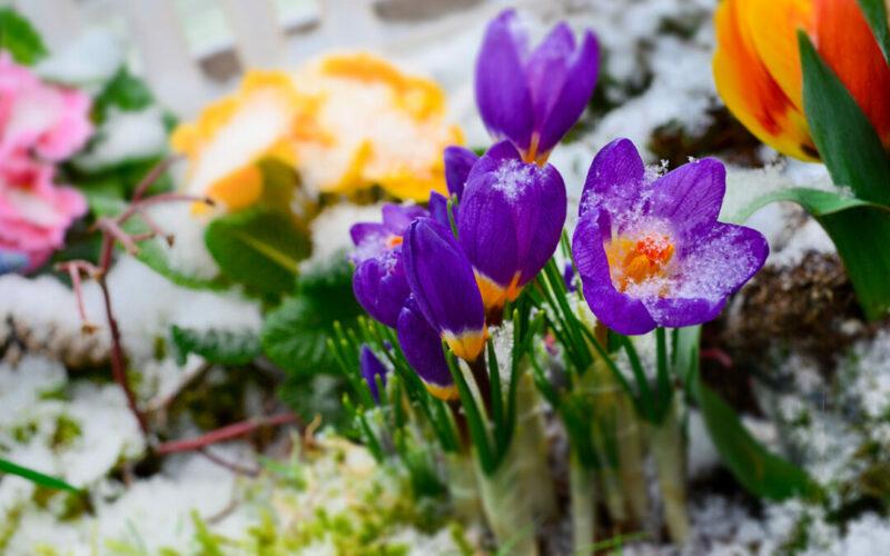 gartentipps-februar-raintime-bewaesserungssysteme-fruehblueher-krokusse